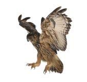 Eurasische Adler-Eule, Bubo Bubo, 15 Jahre alt Stockfotos
