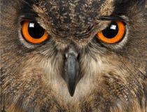 Eurasische Adler-Eule, Bubo Bubo, 15 Jahre alt Stockbild