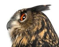 Eurasische Adler-Eule, Bubo Bubo, 15 Jahre alt Lizenzfreies Stockbild