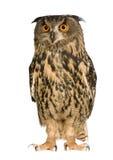 Eurasische Adler-Eule - Bubo Bubo (22 Monate) Lizenzfreie Stockfotografie
