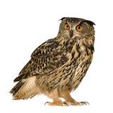 Eurasische Adler-Eule - Bubo Bubo (22 Monate) Stockbild