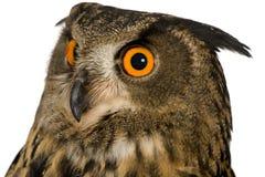 Eurasische Adler-Eule - Bubo Bubo (22 Monate) Stockfotos