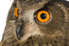 Eurasische Adler-Eule - Bubo Bubo (22 Monate) Lizenzfreies Stockfoto