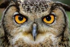 Eurasische Adler-Eule (Bubo Bubo) Stockfotografie