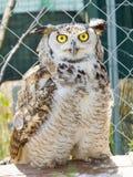 Eurasische Adler-Eule (Bubo Bubo) Stockfoto
