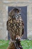 Eurasische Adler-Eule (Bubo Bubo) Lizenzfreies Stockfoto
