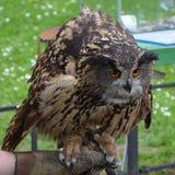 Eurasische Adler-Eule (Bubo Bubo) Lizenzfreies Stockbild