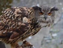 Eurasische Adler-Eule (Bubo Bubo) Stockfotos