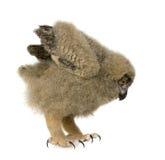 Eurasische Adler-Eule - Bubo Bubo (6 Wochen) Lizenzfreies Stockbild