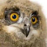 Eurasische Adler-Eule - Bubo Bubo (6 Wochen) Lizenzfreie Stockfotos