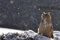 Eurasische Adler-Eule, die auf dem Boden beim Schneien sitzt Lizenzfreie Stockfotos