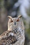 Eurasische Adler-Eule, die in der Natur sitzt Lizenzfreie Stockfotos