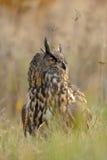 Eurasische Adler-Eule im Gras Lizenzfreies Stockfoto