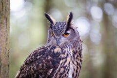 eurasische Adlereule Stockfotografie