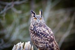 eurasische Adlereule Stockbilder