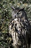 Eurasische Adlereule Stockfoto