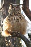 Eurasische Adlereule Lizenzfreies Stockbild