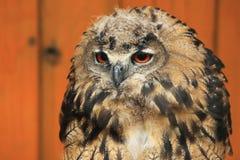 Eurasische Adlereule Stockbild