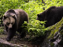 Eurasische braune Bären Stockfotos