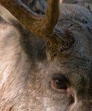Eurasische Elche oder Elche Stockfoto