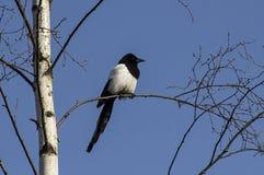 Eurasische Elster des Vogels auf der Baum ` s Niederlassung Lizenzfreie Stockfotografie