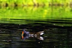 Eurasische gemeine Teichhuhnalias Sumpfhenne, waterhen und überfluten Huhn - Schwimmen im Octagon See stockbilder