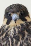 Eurasische Liebhaberei (Falco Subbuteo) Stockbild