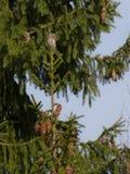 Eurasische Pigmy-Eule - Glaucidium-passerinum Stockfotos