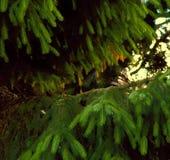 Eurasische Türkentaube, die auf einem Baumstumpf, Streptopelia decaocto sitzt lizenzfreie stockbilder