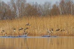 Eurasische Wigeonmenge nimmt zu den Himmeln stockfoto
