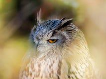Eurasische Zwergohreule, die im Wald für das jagende Opfer aufpasst Stockbild
