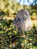 Eurasische Zwergohreule, die im Wald für das jagende Opfer aufpasst Stockbilder