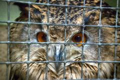 Eurasischer Adler Bubo Bubo im Zoo Lizenzfreie Stockfotografie