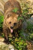 Eurasischer Braunbär, der nach etwas Lebensmittel sucht Stockfotos