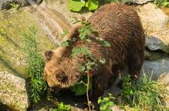 Eurasischer Braunbär, der nach etwas Lebensmittel sucht Lizenzfreie Stockfotografie