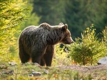 Eurasischer Braunbär - Ursusschauspielerschauspieler - im Frühjahr gezierter Wald Lizenzfreie Stockfotografie