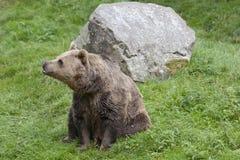 Eurasischer brauner Bär stockbilder
