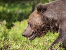 Eurasischer brauner Bär Lizenzfreie Stockfotos