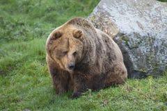 Eurasischer brauner Bär Lizenzfreies Stockbild