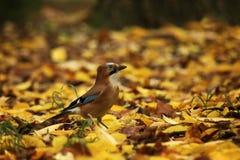 Eurasischer Eichelhäher im Herbstwald - Garrulus glandarius Lizenzfreie Stockfotos
