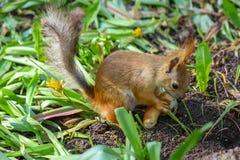 Eurasischer Eichhörnchen Sciurus gemein im Endstadium des verschüttenden Essensaisonstückes des klaren Brotringes lizenzfreie stockfotografie