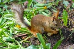 Eurasischer Eichhörnchen Sciurus gemein im Endstadium des verschüttenden Essensaisonstückes des klaren Brotringes lizenzfreie stockfotos