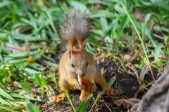 Eurasischer Eichhörnchen Sciurus gemein im Endstadium des verschüttenden Essensaisonstückes des klaren Brotringes lizenzfreie stockbilder