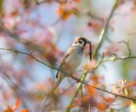 Eurasischer Feldsperling, der Gras für ein Nest sammelt stockfotografie