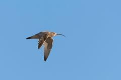 Eurasischer großer Brachvogel (Numenius arquata) Lizenzfreie Stockfotos