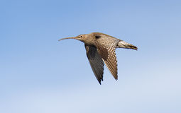 Eurasischer großer Brachvogel Stockfoto