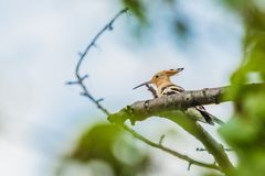 Eurasischer Hoopoe, ein sandiger brauner Vogel mit dem langen Schnabel lizenzfreies stockbild