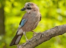 Eurasischer Jay (Garrulus glandarius) lizenzfreies stockbild