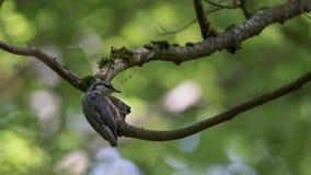 Eurasischer Kleiber auf Baum Stockbilder