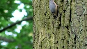 Eurasischer Kleiber auf einem Baum stock video